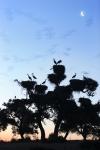 DEHESA DE ABAJO. PROTECTED AREA.WHITE STORKS (Cicconia cicconia). Nesting colony.AZNALCÁZAR. SEVILLA. SPAIN.