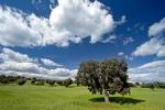 ENCINA (Quercus ilex)DEHESA. CAMPO DE CEREAL.CACERES. EXTREMADURA. ESPAÑA.