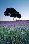 Pine tree forest (Pinus pinea)Flowering prairie. (Echium italicum)Dehesa de Abajo protected area. Aznalcázar. Sevilla. España.