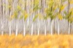 Fotografía. Resultado pictórico moviendo la cámara a baja velocidad. Campo de espárragos y álamos. Granada. España.