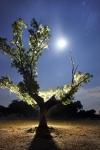 ROBLE (Quercus faginea)DEHESA DE MONTEHERMOSO. CÁCERES. EXTREMADURA. ESPAÑA.