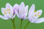 AJO SILVESTRE (Allium sp.).CABO DE SAN ANTONIO. JÁVEA. ALICANTE. ESPAÑA.