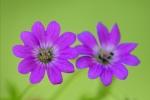 geraniums01-22x30