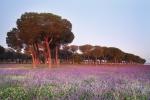 Pine tree forest (Pinus pinea) Flowering prairie. (Echium italicum) Dehesa de Abajo protected area. Aznalcázar. Sevilla. España.