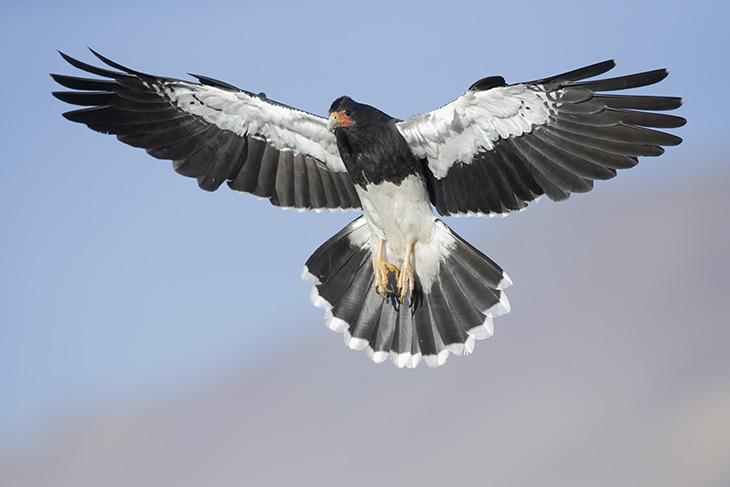CARANCHO CORDILLERANO. CARACARÁ ANDINO (Phalcoboenus megalopter