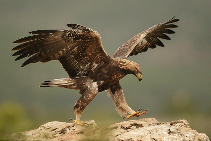 ÁGUILA REAL (Aquila chrysaetos) Hembra.